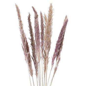 Pampas-Gras, natur, 50–60 cm, 10 Stück