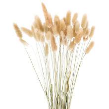 Lagurus-Gras, natur, 50-60 cm, 35-45 Stück